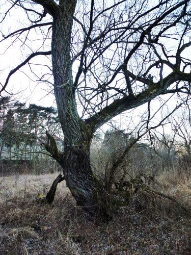 wierzba biała nad Wartą niedaleko Rusałki - 304