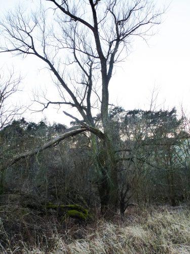 wierzba biała nad Wartą niedaleko Rusałki - 335